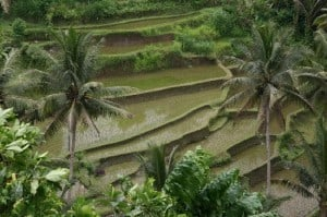 sayan-rice-terraces